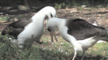 Laysan Albatross Adults (Phoebastria Immutabilis) Courtship Behaviour. Midway Island. Pacific