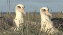 Laysan Albatross Adults (Phoebastria Immutabilis) Pair At Nest Site. Midway Island. Pacific