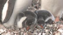 Gentoo Penguin (Pygoscelis Papua) Chicks. Cuverville Island, Antarctic Peninsula