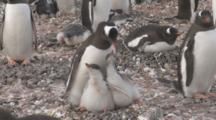 Gentoo Penguin (Pygoscelis Papua) With Begging Chicks. Cuverville Island, Antarctic Peninsula