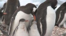 Gentoo Penguins (Pygoscelis Papua) With Chicks. Cuverville Island, Antarctic Peninsula