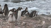 Gentoo Penguins (Pygoscelis Papua) With Chicks, Pair Next To Them Greet One Another. Cuverville Island, Antarctic Peninsula