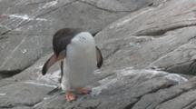 Gentoo Penguin (Pygoscelis Papua) Adult Preens While Other Penguins Move Behind. Cuverville Island, Antarctic Peninsula