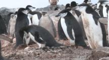 Chinstrap Penguins (Pygoscelis Antarcticus) At Colony. Penguin Island, Antarctica
