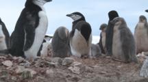 Chinstrap Penguin (Pygoscelis Antarcticus) Attending To Nest Site In Colony. Penguin Island, Antarctica