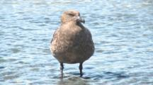 Great Skua Stands In Meltwater Stream. Gold Harbour. South Georgia