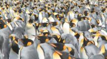 King Penguin (Aptenodytes Patagonicus) Colony. Good Angle For Density. Gold Harbour. South Georgia