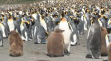 King Penguin (Aptenodytes Patagonicus) Feeds Begging Chick In Colony. Gold Harbour, South Georgia