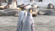 King Penguin (Aptenodytes Patagonicus) Pair Necking Foreground With Antarctic Fur Seals (Arctocephalus Gazella)Behind. Salisbury Plain, Bay Of Isles, South Georgia