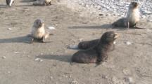 Antarctic Fur Seals (Arctocephalus Gazella) Pups, Salisbury Plain.  Bay Of Isles, South Georgia