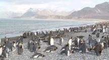 King Penguin (Aptenodytes Patagonicus) Colony With Antarctic Fur Seals (Arctocephalus Gazella), Salisbury Plain.  Bay Of Isles, South Georgia