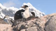Blue-Eyed Shag At Nest Site With Chick, Snowy Peak Behind, Jougla Point, Wiencke Island, Antarctic Peninsula