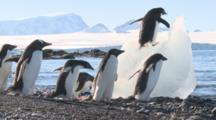 Adelie Penguins On Beach, One On Iceberg To Feed On Ice. Antarctic Peninsula