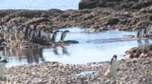 Adelie Penguins (Pygoscelis Adeliae) Cross Shallow Water And Pebbles On Way Back To Colony. Antarctic Peninsula