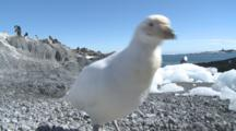 Snowy Sheathbill Enters Frame And Attacks Camera. South Georgia