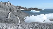 Adelie Penguins (Pygoscelis Adeliae) Jumps From Ice At Beach. Antarctic Peninsula