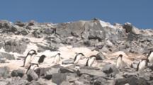 Adelie Penguins (Pygoscelis Adeliae) Rush Across Rocky Slope.  Antarctic Peninsula