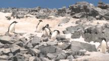 Adelie Penguins (Pygoscelis Adeliae) Coming Down Slope From Colony. Antarctic Peninsula