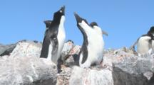 Adelie Penguin Pair In Colony, Courtship Display. Brown Bluff, Antarctic Peninsula