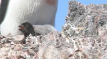 Adelie Penguin (Pygoscelis Adeliae) At Nest With Chicks.  Antarctic Peninsula