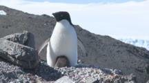 Adelie Penguins, Chick Hides Under Adult