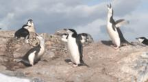 Chinstrap Penguins (Pygoscelis Antarcticus) In Small Colony. Some Ecstatic Display.  Orne Island, Antarctic Peninsula