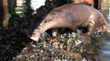 Otter (Lutra Lutra) Swimming With Fish, Gets Out At Pier. Tobermory. Mull. Uk. 22/07/08