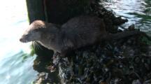 Otter (Lutra Lutra) Below Pier. Tobermory. Mull. Uk. 22/07/08