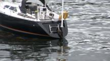 Otter (Lutra Lutra) Jumps Off Small Yacht. Tobermory. Mull. Uk. 22/07/08