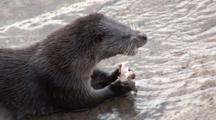 Otter (Lutra Lutra) Feeds At Harbour Steps. Tobermory. Mull. Uk. 22/07/08