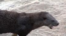 Otter (Lutra Lutra) Feeds At Harbor Steps. Tobermory. Mull. Uk. 22/07/08