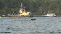 Bottlenosed Dolphins (Tursiops Truncatus) Swim And Jump. Man Watches Tobermory. Mull. Uk. 15/07/09