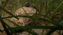 Common Hermit Crab (Eupagurus Bernhardus) In Sea Grass. Arran. Underwater, North Atlantic