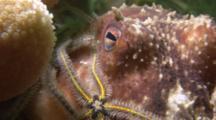 Brittlestar (Currently Unknown Species) And Lesser Octopus (Eledone Cirrhosa). Arran. Underwater, North Atlantic