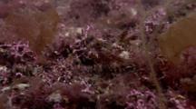 Short-Spined Sea Scorpion (Myoxocephalus Scorpius). Arran. Underwater, North Atlantic