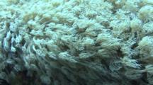 Anemone Coral Polyps (Goniopora Columna) Red Sea, Egypt