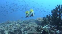 Banner Fish (Heniochus Intedius)Two Tony Tak Photo, Indian Ocean, Maldives