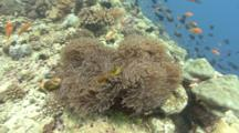 Clown Fish In Anemone (Macentridae) Flows In Current, Indian Ocean, Maldives