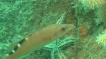 Cuckoo Wrasse (F)(Labrus Bimaculatus) CU Guernsey, English Channel, UK