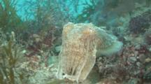 Common Cuttlefish (Sepia Officinalis) Hovers