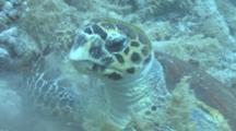 Hawksbill Turtle (Eretmochelys Imbriocota) Feeding, Red Sea, Egypt