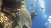 Hawksbill Turtle (Eretmochelys Imbriocota) Posing, Red Sea, Egypt