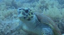Hawksbill Turtle (Eretmochelys Imbriocota)CU Feeding, Red Sea, Egypt
