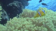 Red Sea Anemone Fish (Amphiprion Bicinctus) Darting About, Red Sea, Egypt