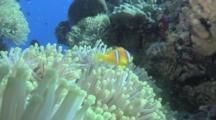 Red Sea Anemone Fish (Amphiprion Bicinctus) In Amemone, Red Sea, Egypt