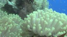 Red Sea Anemone Fish (Amphiprion Bicinctus) Pan Up Amemone, Red Sea, Egypt
