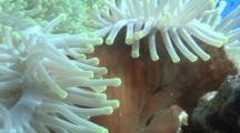 Red Sea Anemone Underside, Red Sea, Egypt