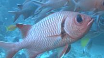 Soldierfish Blotcheye (Myripristis Murdjan) Schooling, Indian Ocean, Maldives