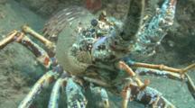 Spiny Lobser.Crayfish,(Palinurus Elephas) CU Face On, Guernsey English Channel, UK