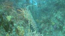 Spiny Lobser.Crayfish,(Palinurus Elephas) Walking Along Reef, Guernsey English Channel, UK